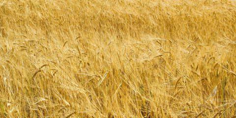 campo-di-grano,-colture-161638