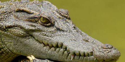 Coccodrilli-coccodrillo-Interpretazione-dei-sogni