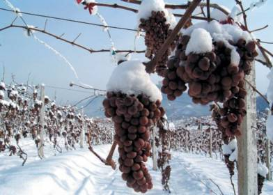 Ice-wine-frozen-grapes